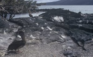 lava shelf next to ocean with pelicans on Fernandina Island