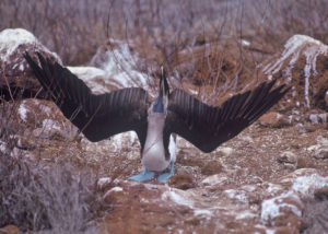 Blue-footed Booby pointing its beak up to the sky with both wings spread wide to each side