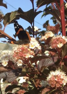 A Vanessa atalanta butterfly feeds on nine bark blossoms. what doesn't support bees feeds other pollinators.