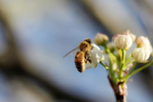 Essential work: a honey bee working blossoms of a fruit tree.