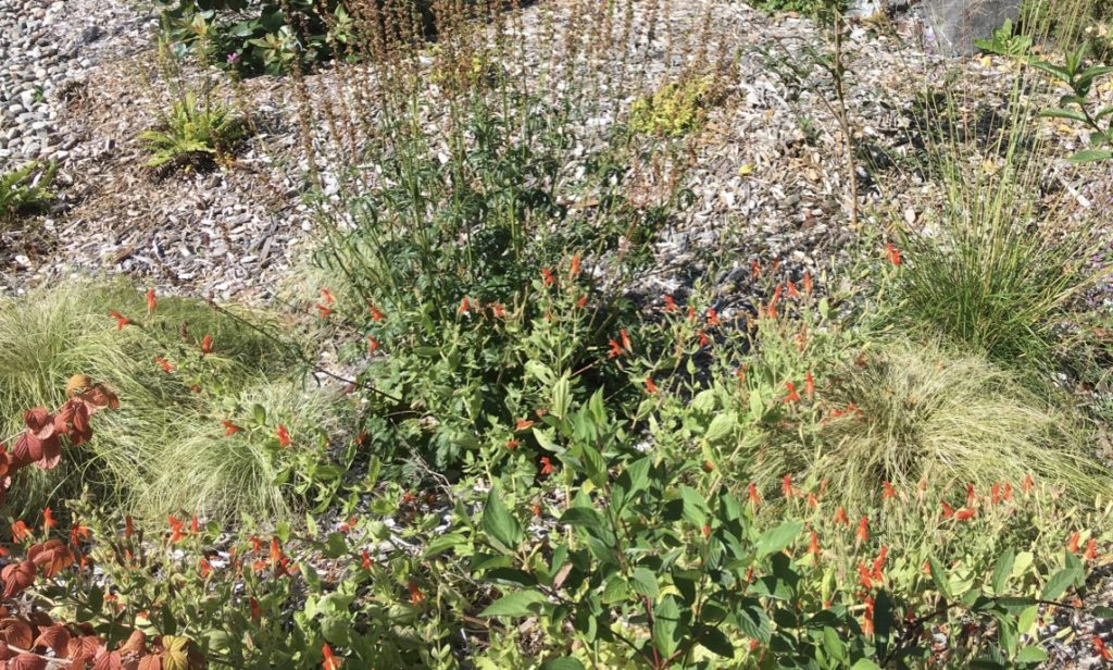 Dogwood, sedges, scarlet monkey flower, checkered mallow, deer ferns and more cover the mulch of the rain garden in summer. More here to support bees and butterflies as well as hummingbirds.
