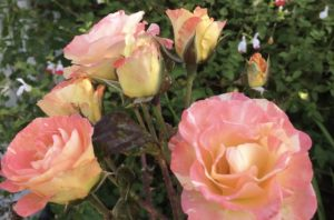 yellow apricot to orange petals on opening roses are clustered amidst burgundy leaves and thorny stems