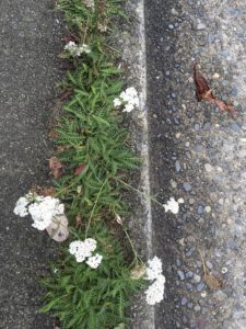 yarrow millefoil growing between curb and sidewalk