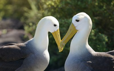 Waved Albatrosses Need Protection