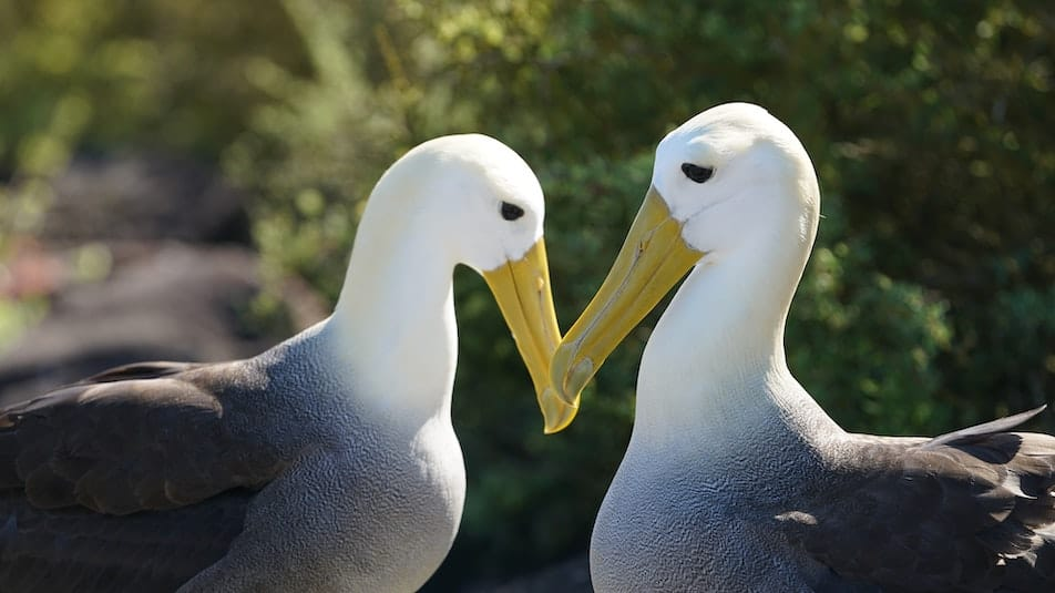 Waved Albatrosses touching beaks