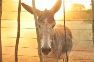 Mule behind fence